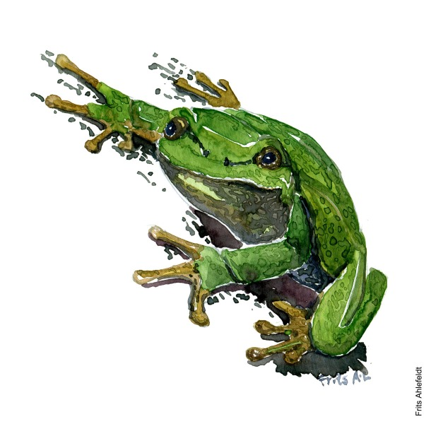 Illustration of European tree frog. Front. Frog watercolor painting handmade by Frits Ahlefeldt