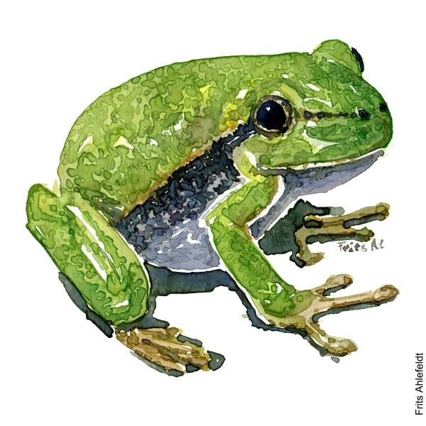 Illustration of European tree frog, sideview. Frog watercolor painting handmade by Frits Ahlefeldt