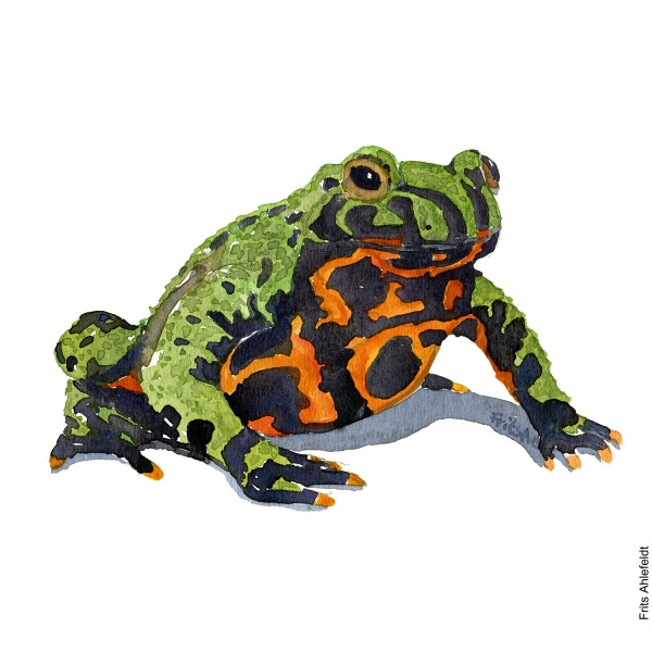 Illustration of fire-bellied toad. Frog watercolor painting handmade by Frits Ahlefeldt