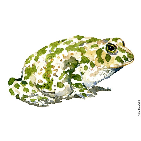 Illustration of green toad, side view. Frog watercolor painting handmade by Frits Ahlefeldt