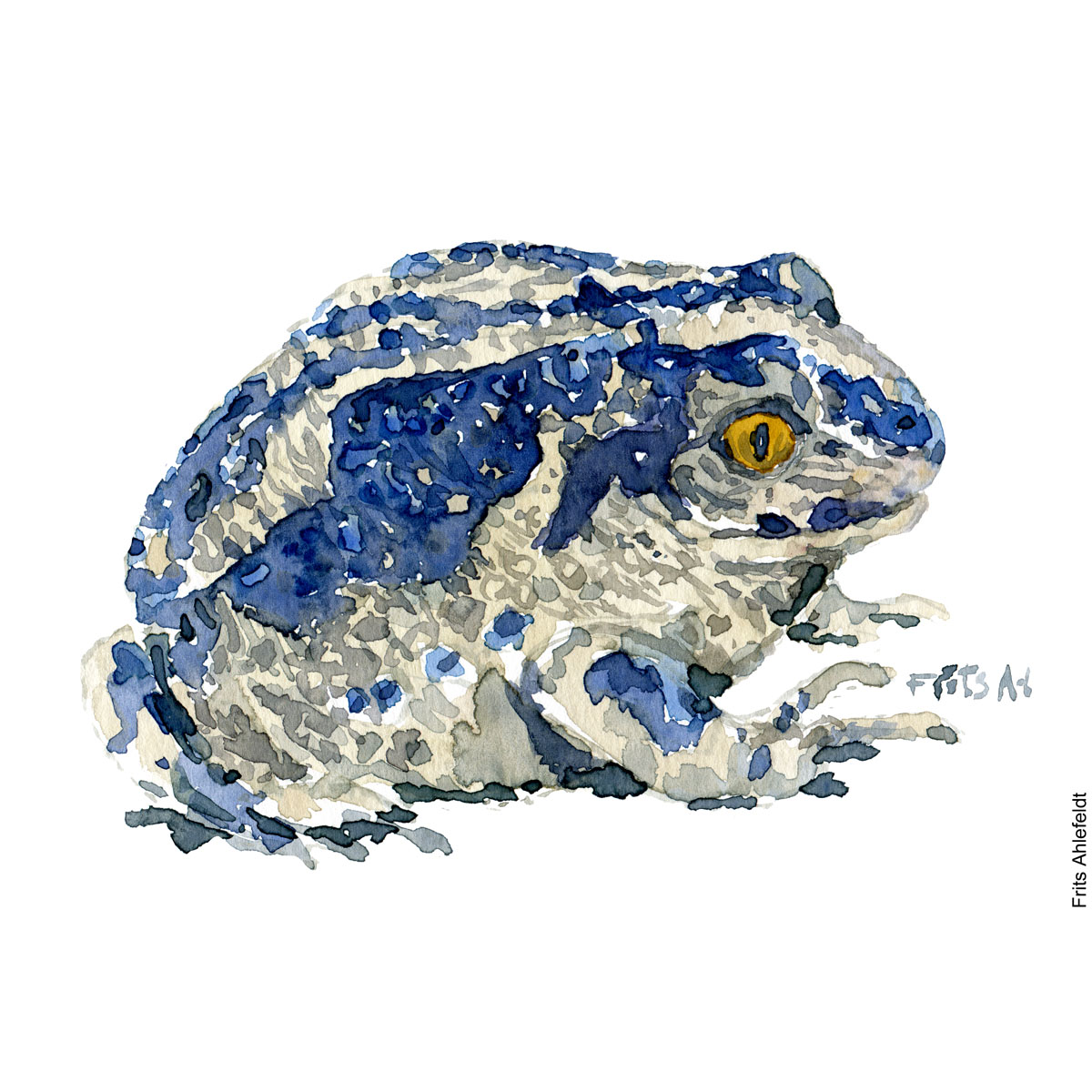 Illustration of blueish common spade-foot toad. Frog watercolor painting handmade by Frits Ahlefeldt