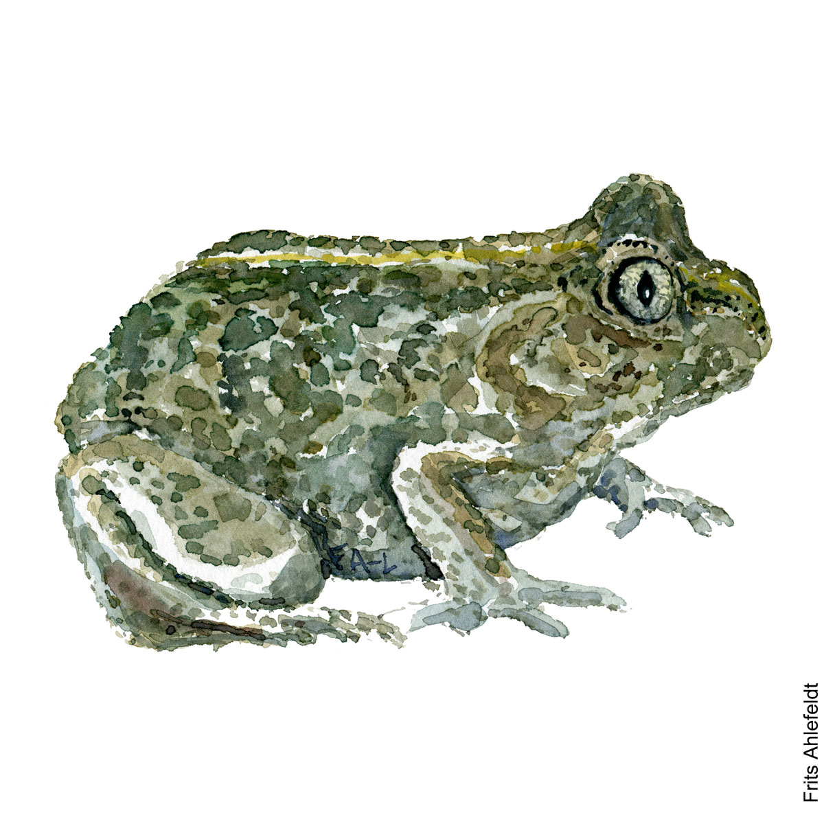 Illustration of Common spade-foot frog. Frog watercolor painting handmade by Frits Ahlefeldt