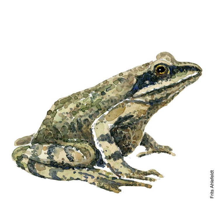 Watercolor of moor frog. Frog watercolor painting handmade by Frits Ahlefeldt
