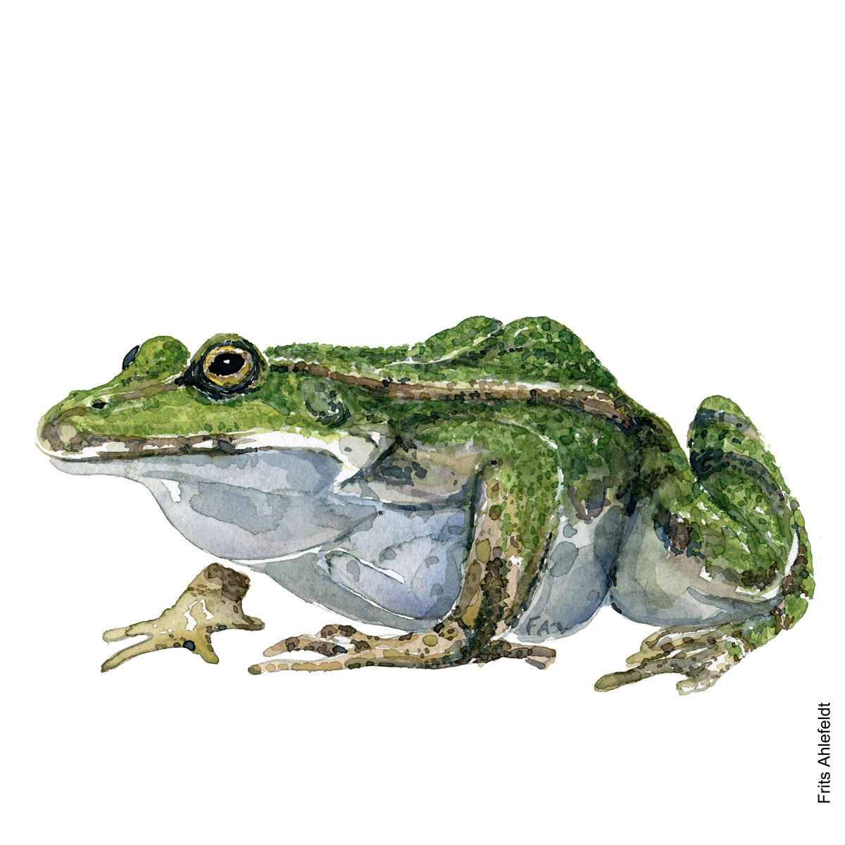 Illustration of edible frog side view. Frog watercolor handmade by Frits Ahlefeldt