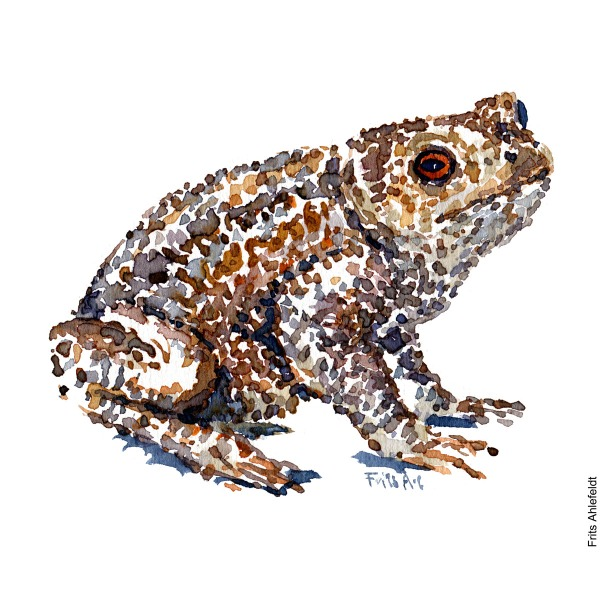 Illustration of a Common toad looking right - Frog watercolor handmade by Frits Ahlefeldt