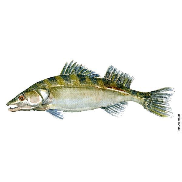 Illustration of Zander - sandart. Freshwater fish watercolour handmade by Frits Ahlefeldt