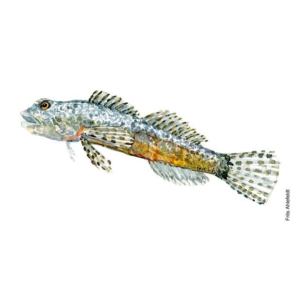 Illustration of Alpine bullhead. Finnestribet ferskvandshulk. Freshwater fish watercolour handmade by Frits Ahlefeldt