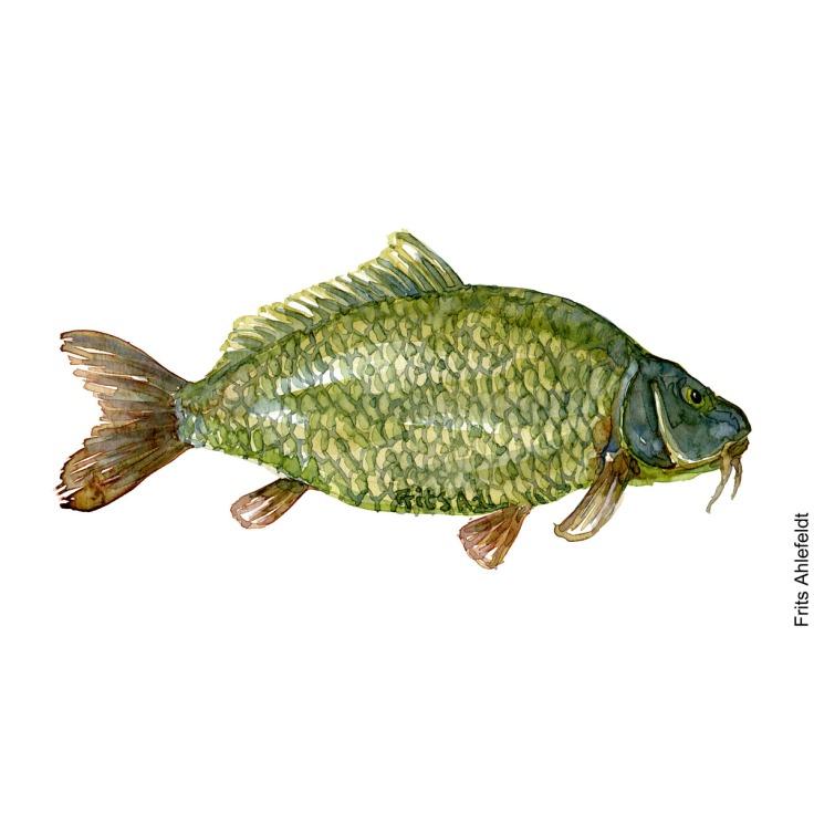 Illustration of carp. Karpe. Freshwater fish watercolour handmade by Frits Ahlefeldt