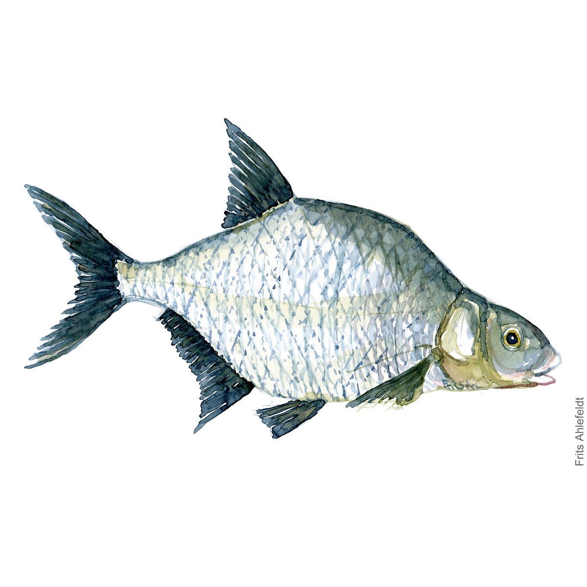 Illustration of Common bream. Brasen. Freshwater fish watercolour handmade by Frits Ahlefeldt