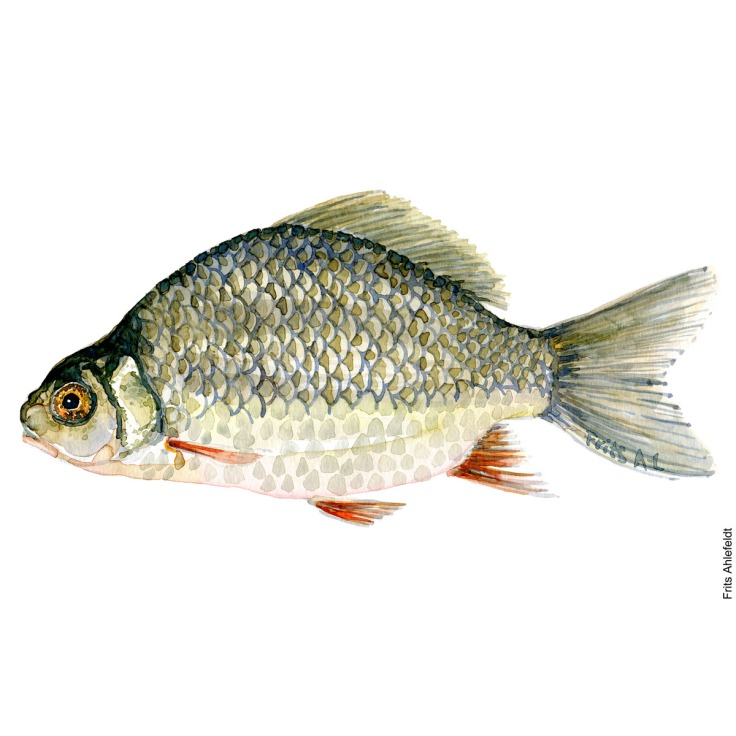 Illustration of Crusian carp. Karusse. Freshwater fish watercolour handmade by Frits Ahlefeldt
