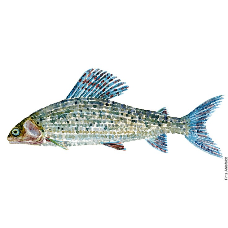 Illustration of Grayling. Stalling. Freshwater fish watercolour handmade by Frits Ahlefeldt