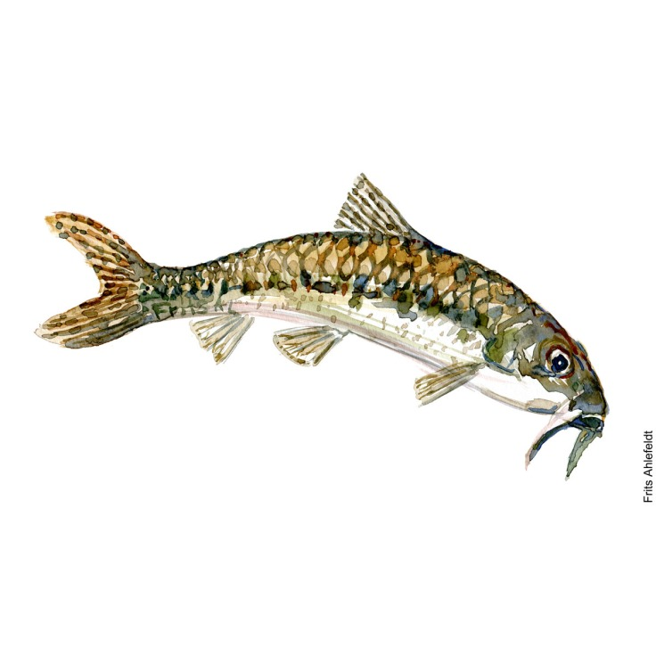 Illustration of Gudgeon. Grundling. Freshwater fish watercolour handmade by Frits Ahlefeldt