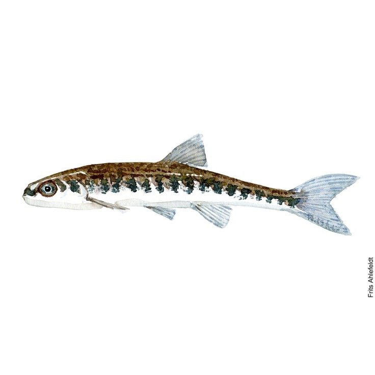 Illustration of Minnow. Elritse. Freshwater fish watercolour handmade by Frits Ahlefeldt