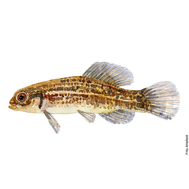 Illustration of Mudminnow. Lille hundefisk. Freshwater fish watercolour handmade by Frits Ahlefeldt