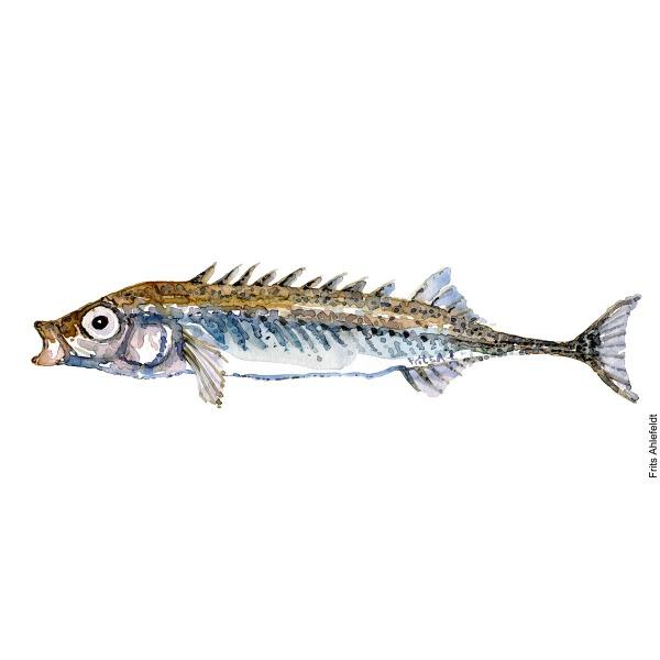 Illustration of Nine-spined stickleback. Hundestejle. Freshwater fish watercolour handmade by Frits Ahlefeldt