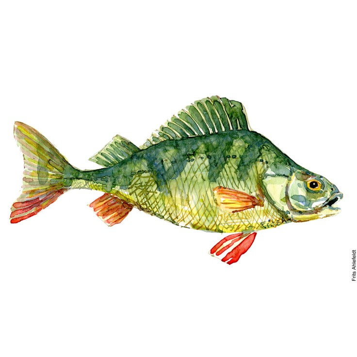 Perch. Aborre. Watercolour, Freshwater fish illustration by Frits Ahlefeldt