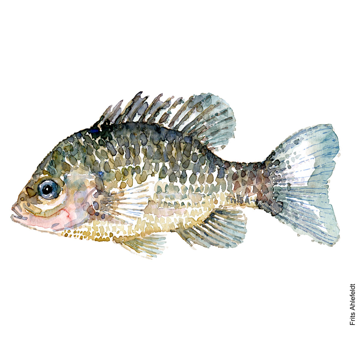 Pumkinseed sunfish. Solaborre. Watercolour, Freshwater fish illustration by Frits Ahlefeldt