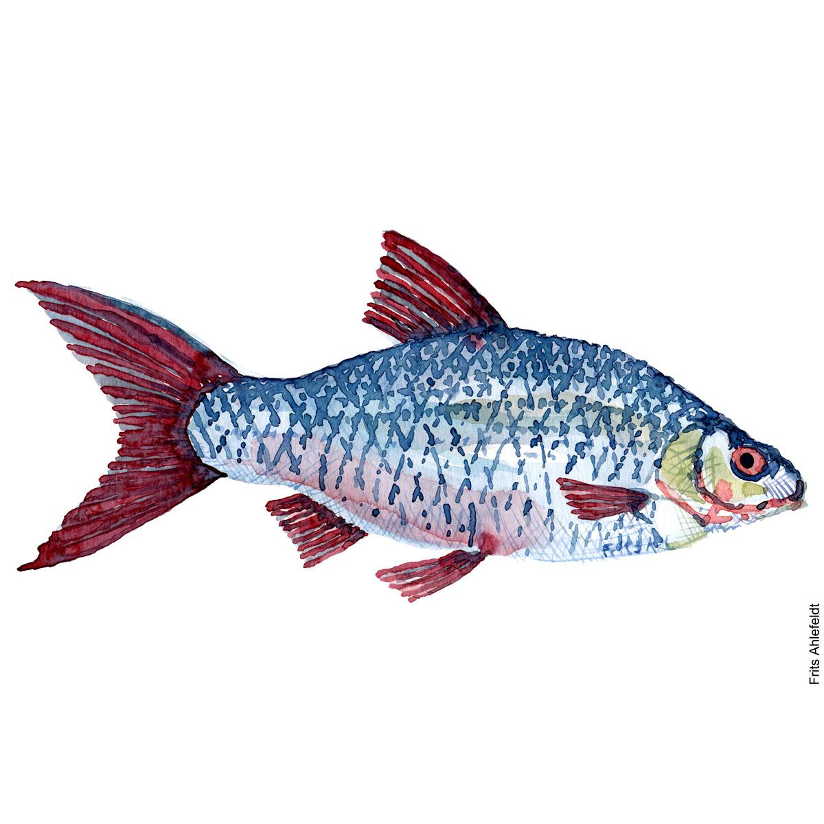 Roach. Skalle. Watercolour, Freshwater fish illustration by Frits Ahlefeldt