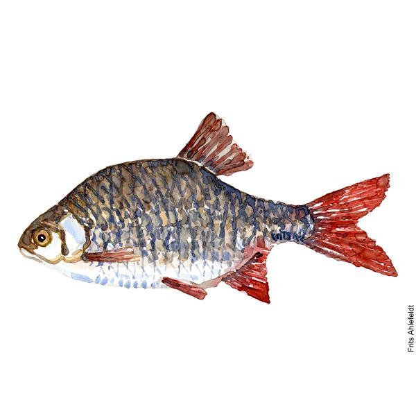 Rudd - Rudskalle. Watercolour, Freshwater fish illustration by Frits Ahlefeldt