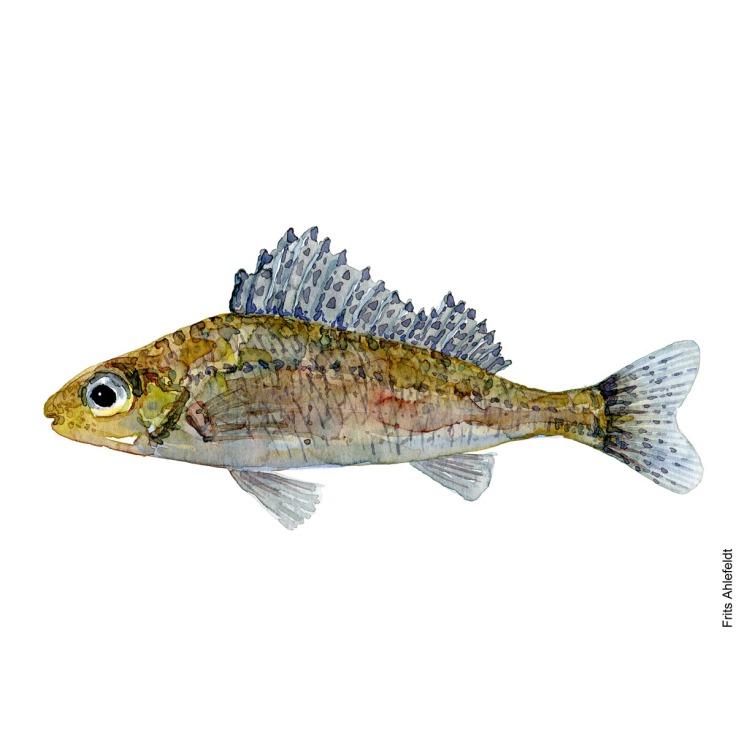 Ruffe, hork. Watercolour, Freshwater fish illustration by Frits Ahlefeldt