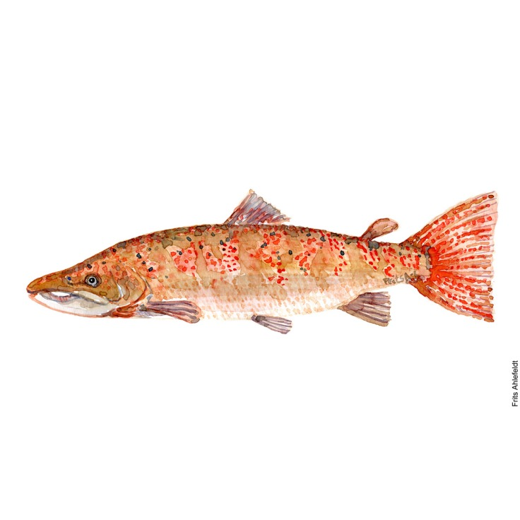 Salmon. Pink ish. Laks. Lyserød. Watercolour, Freshwater fish illustration by Frits Ahlefeldt