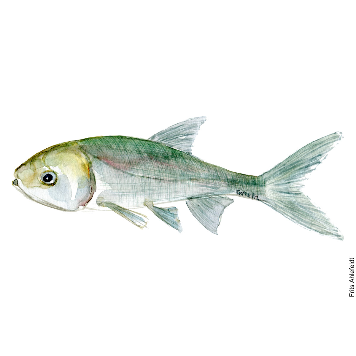 Silver carp. Sølvkarpe. Watercolour, Freshwater fish illustration by Frits Ahlefeldt