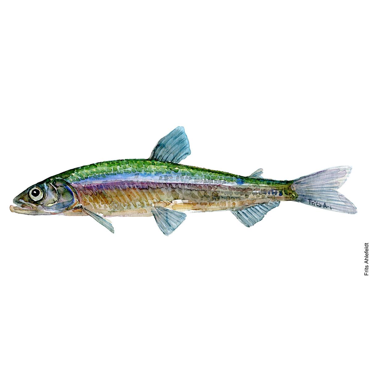Smelt. Stint. Watercolour, Freshwater fish illustration by Frits Ahlefeldt