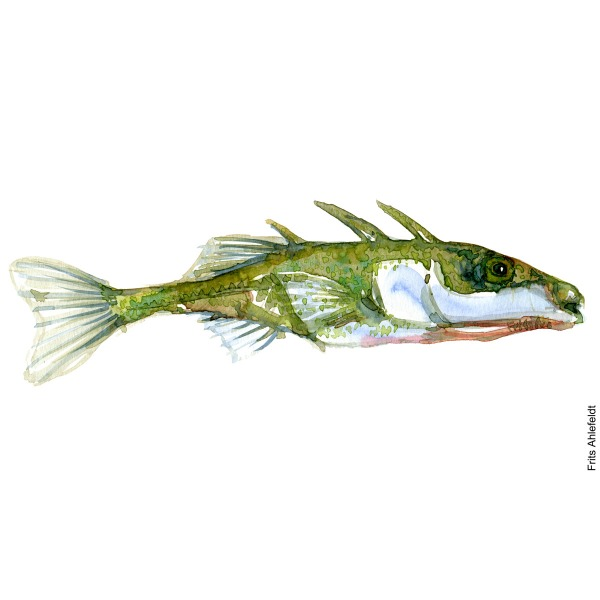 Three spined stickleback. Hundestejle. Watercolour, Freshwater fish illustration by Frits Ahlefeldt