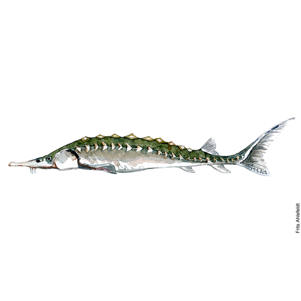 Sturgeon. Stør. Watercolour, Freshwater fish illustration by Frits Ahlefeldt