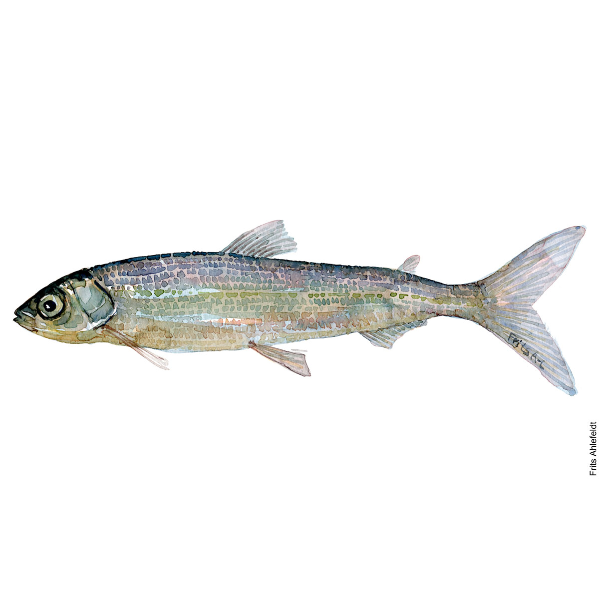 Vendace - cisco. Watercolour, Freshwater fish illustration by Frits Ahlefeldt