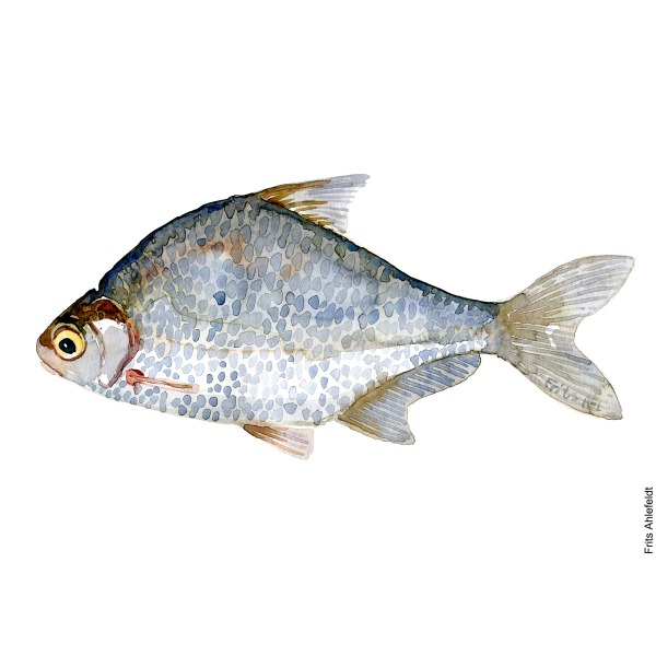 White bream. Watercolour, Freshwater fish illustration by Frits Ahlefeldt