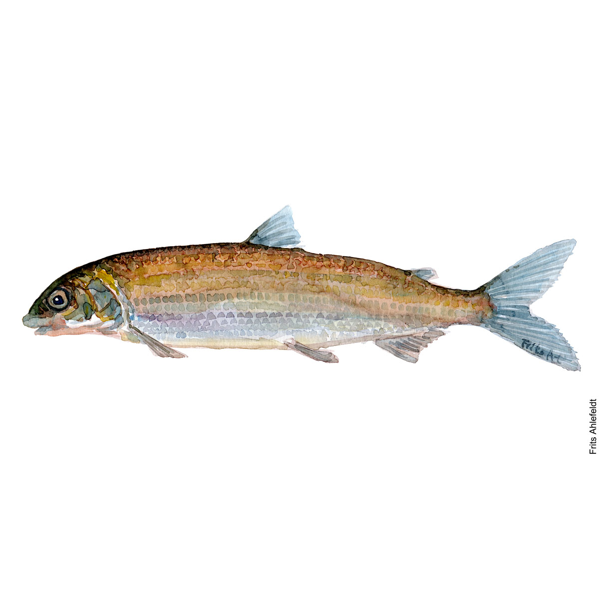 Whitefish Watercolour, Freshwater fish illustration by Frits Ahlefeldt