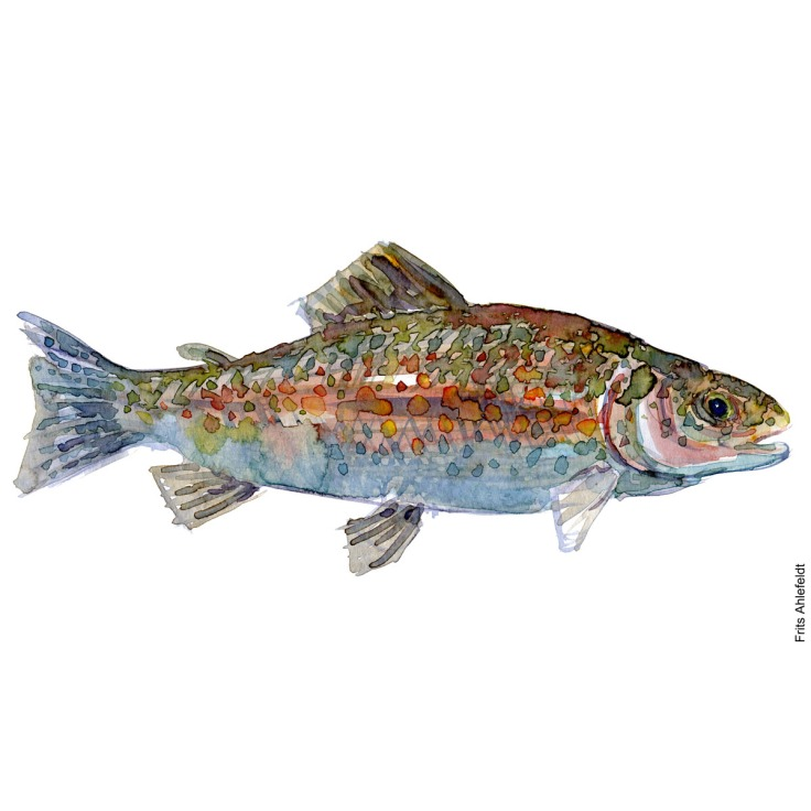Trout, large. Watercolour, Freshwater fish illustration by Frits Ahlefeldt