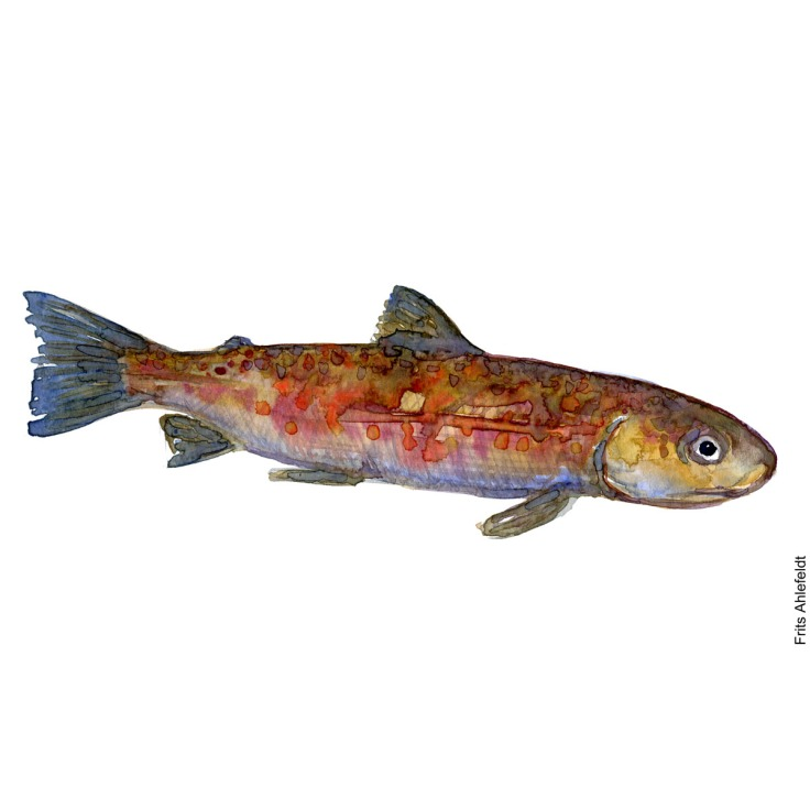Trout brown. Watercolour, Freshwater fish illustration by Frits Ahlefeldt