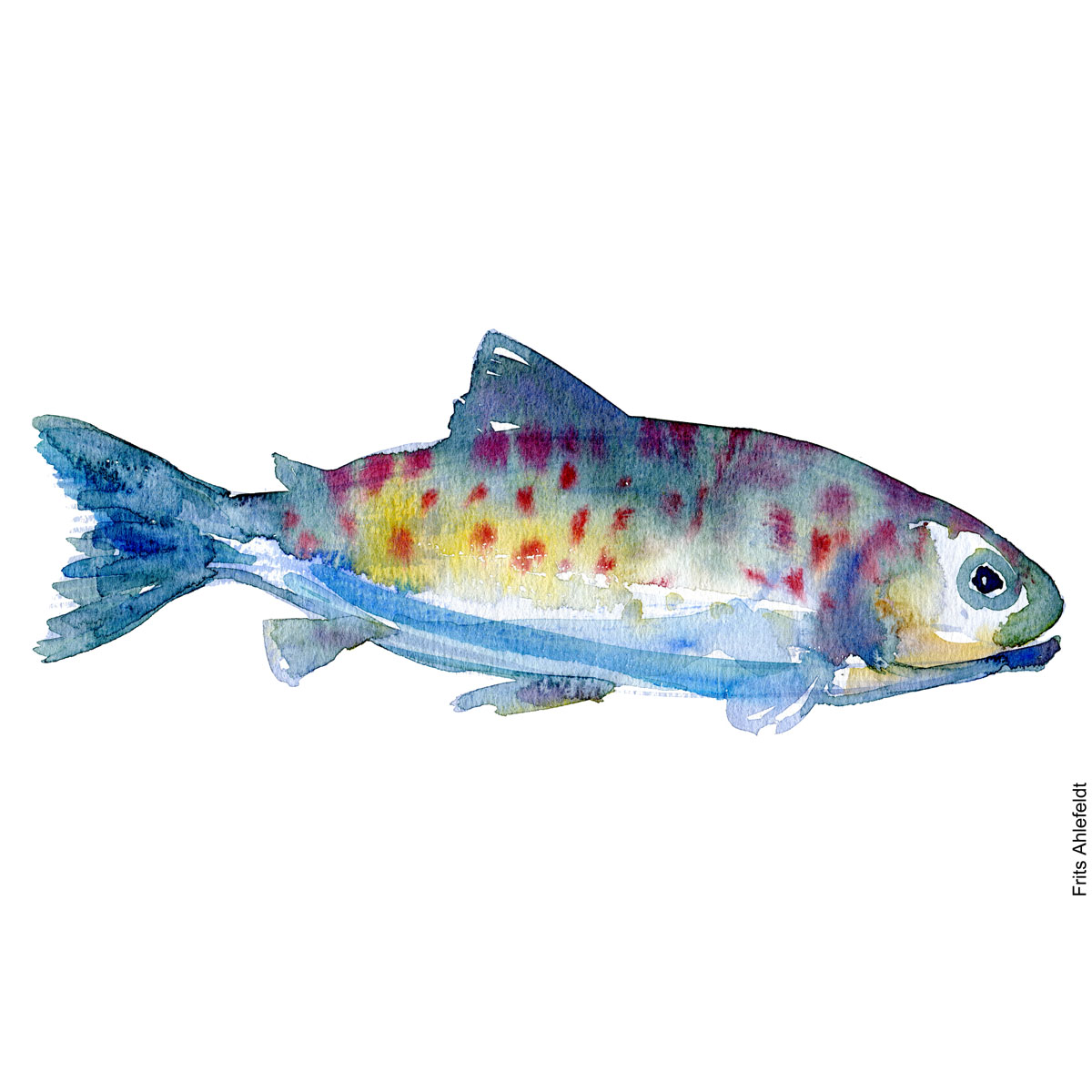 Trout, red dots, Watercolour, Freshwater fish illustration by Frits Ahlefeldt
