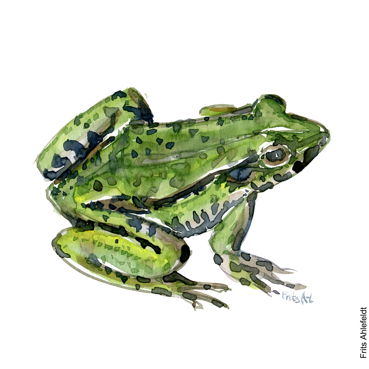 Illustration of edible frog. Watercolor by Frits Ahlefeldt