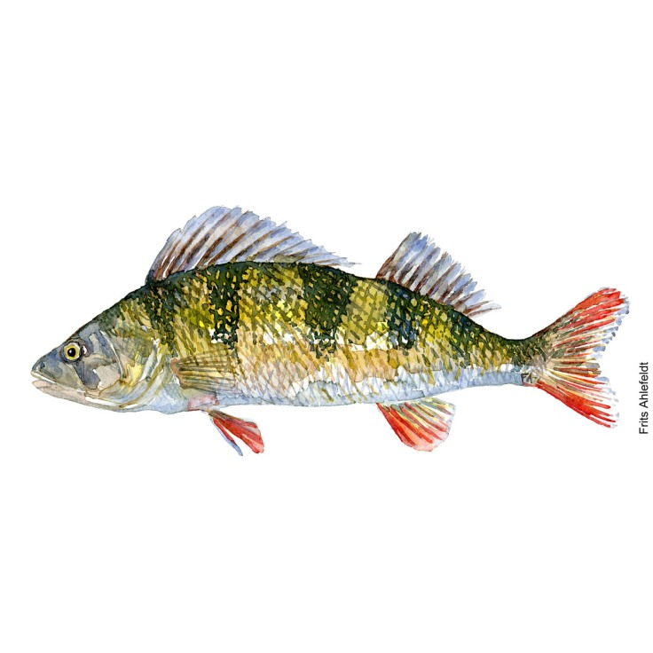 Perch - aborre Fish watercolor illustration by frits Ahlefeldt
