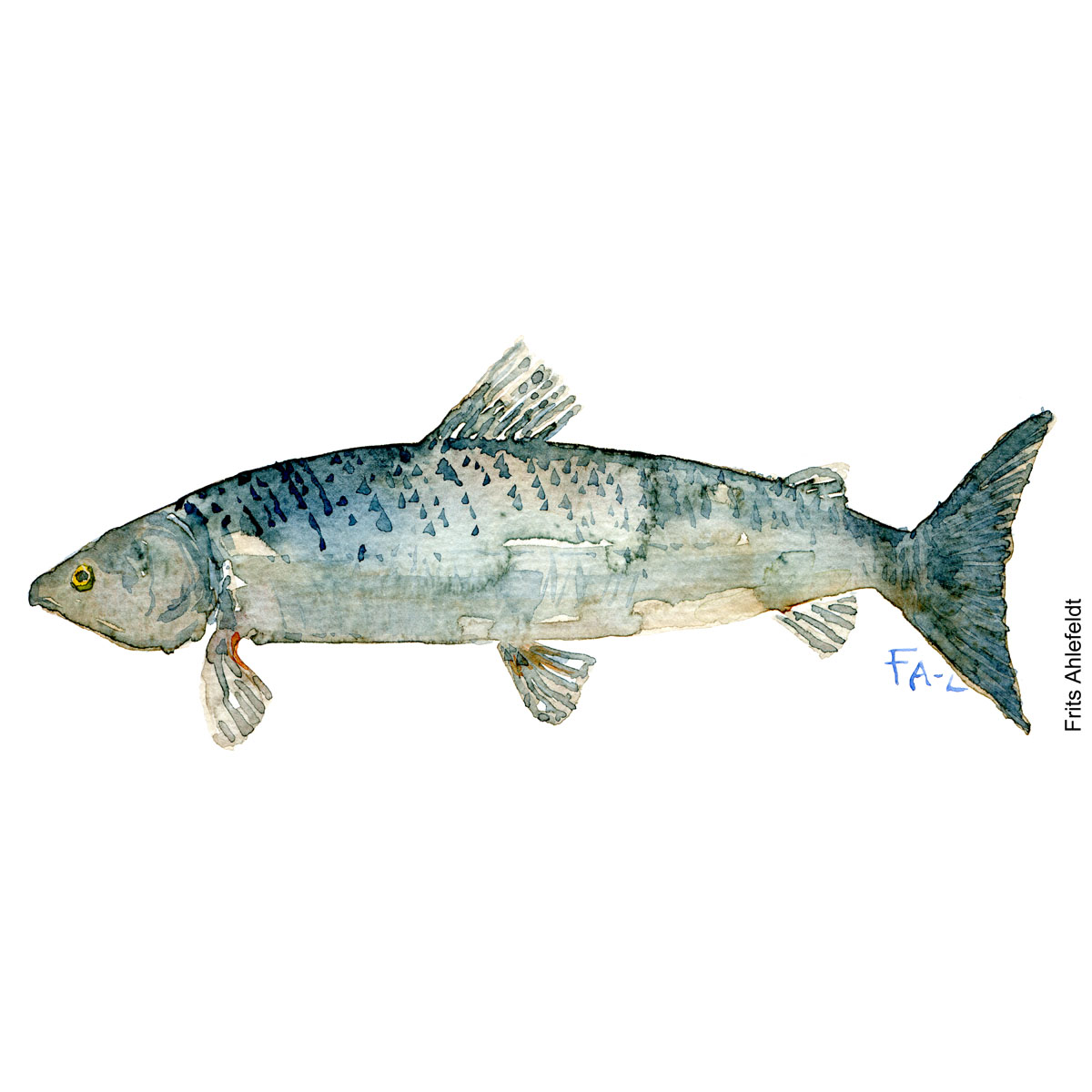 Fish sketch Fish watercolor illustration by frits Ahlefeldt