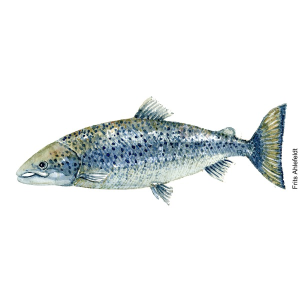 Atlantic salmon Fish watercolor illustration by frits Ahlefeldt