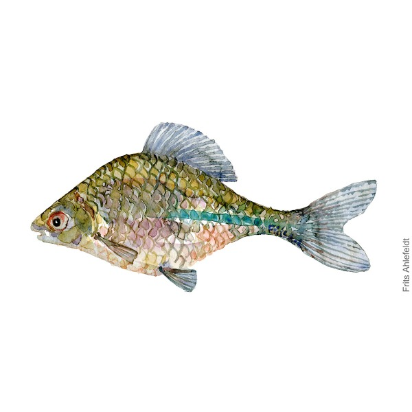 Bitterling Fish watercolor illustration by frits Ahlefeldt