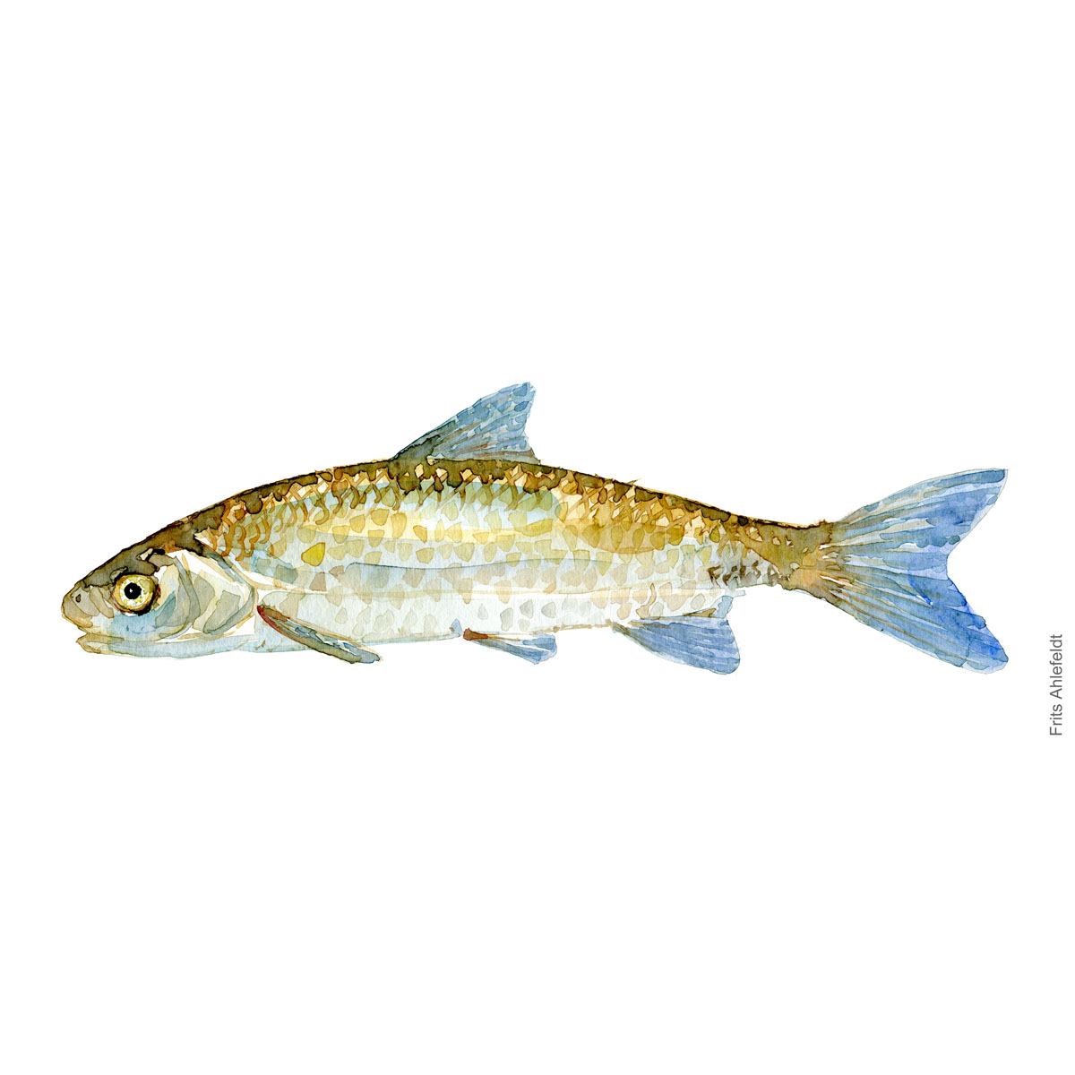 Dace - hasel Fish watercolor illustration by frits Ahlefeldt