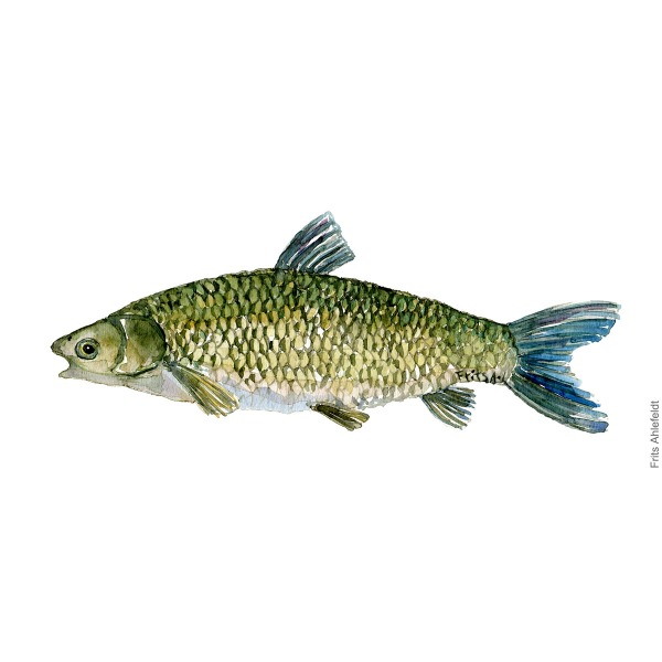 Grass carp Fish watercolor illustration by frits Ahlefeldt