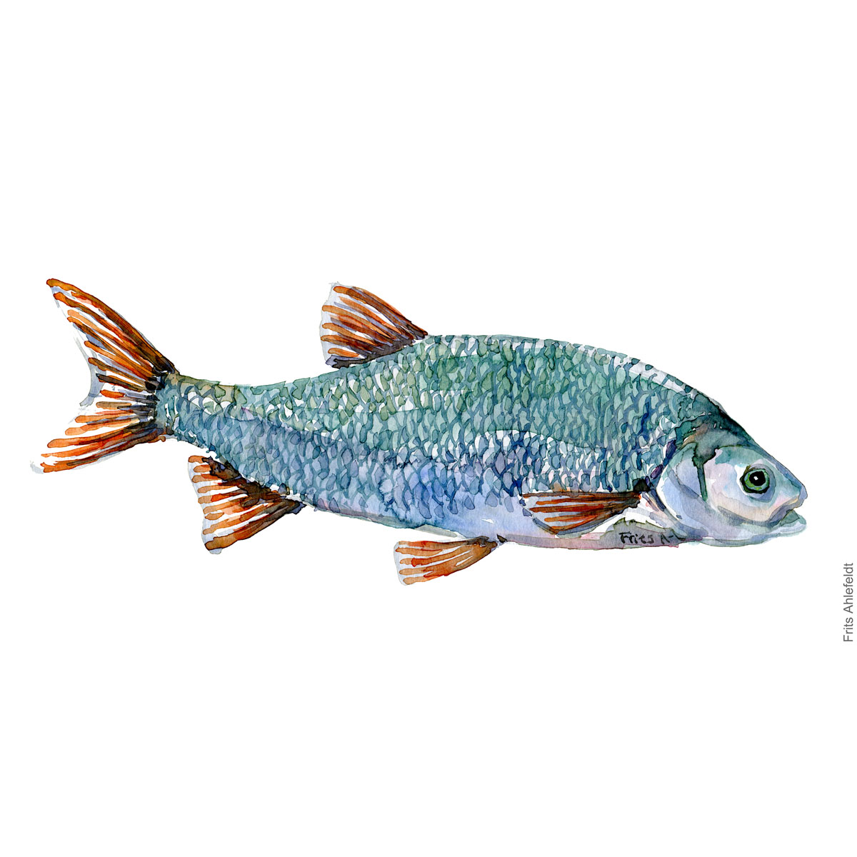 Ide Fish watercolor illustration by frits Ahlefeldt