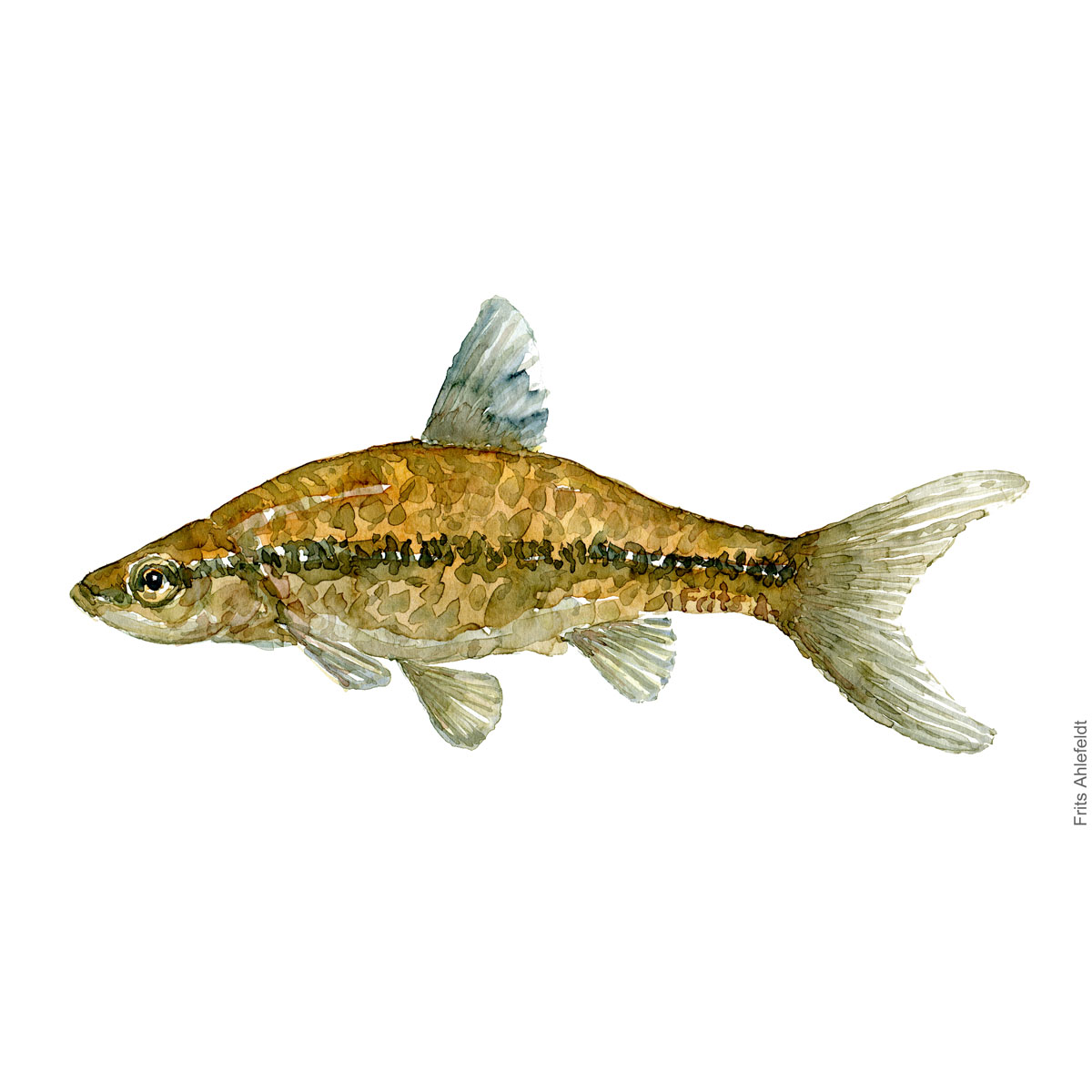 Stone moroko - Båndgrundling Fish watercolor illustration by frits Ahlefeldt