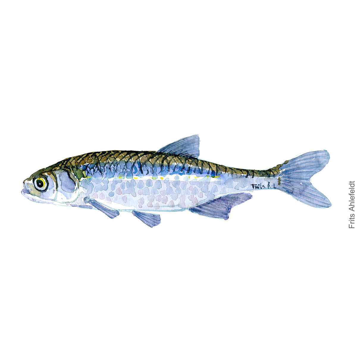 Sunbleak - Regnloje Fish watercolor illustration by frits Ahlefeldt