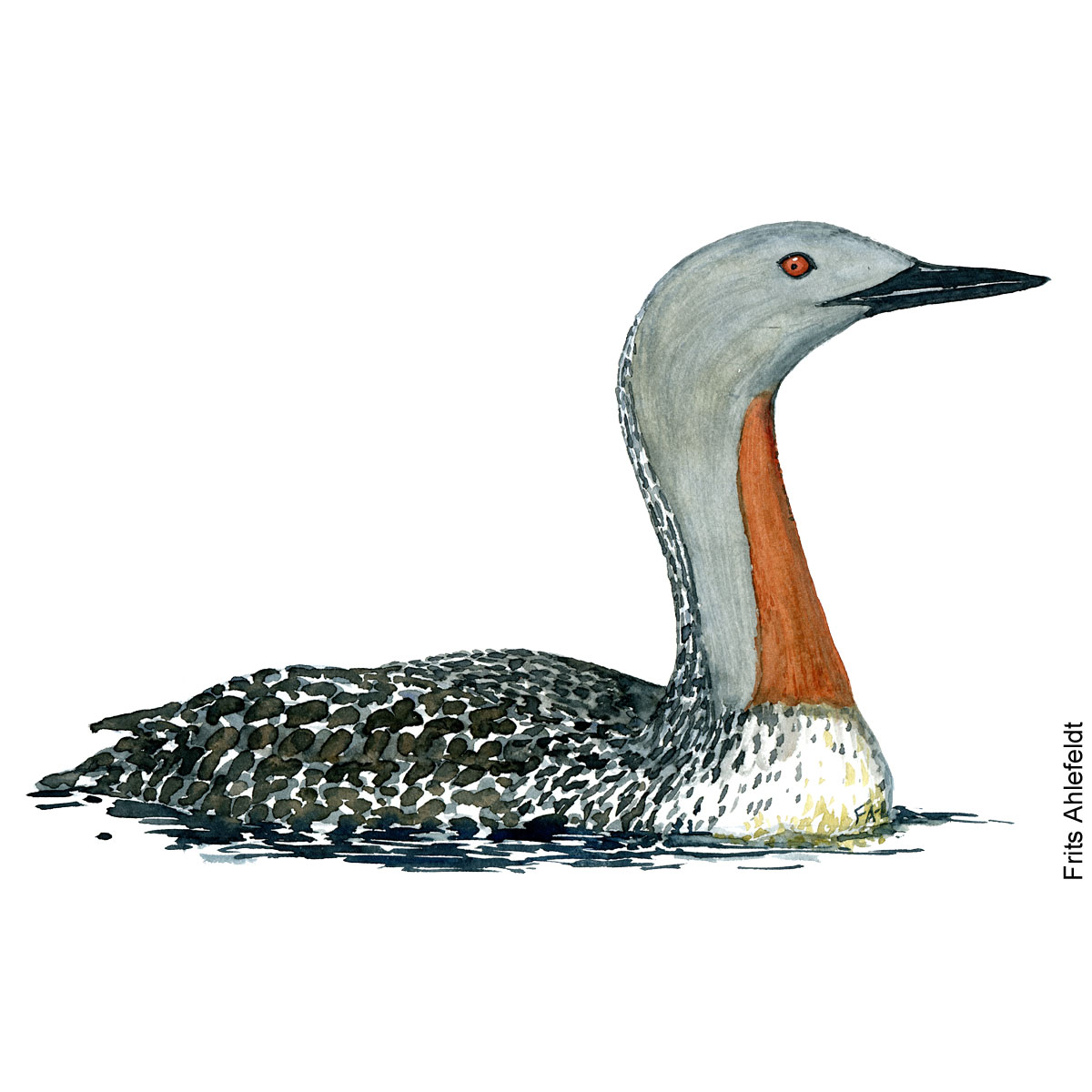 Red throated loon. Bird watercolor illustration handmade by Frits Ahlefeldt