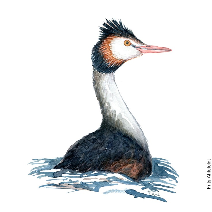 Great crested grebe swimming. Bird watercolor illustration handmade by Frits Ahlefeldt