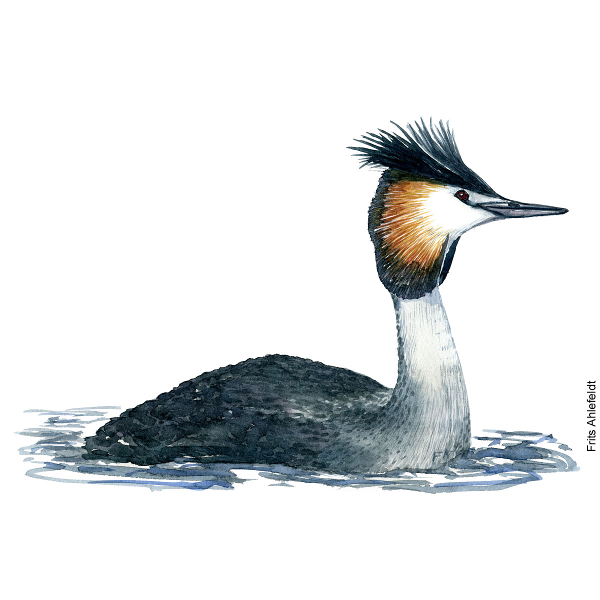 Great crested grebe side view. Bird watercolor illustration handmade by Frits Ahlefeldt