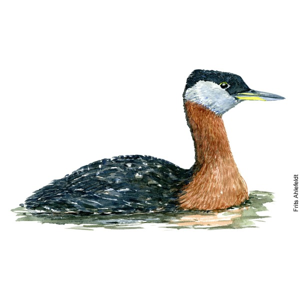 Red-necked grebe Bird watercolor illustration handmade by Frits Ahlefeldt