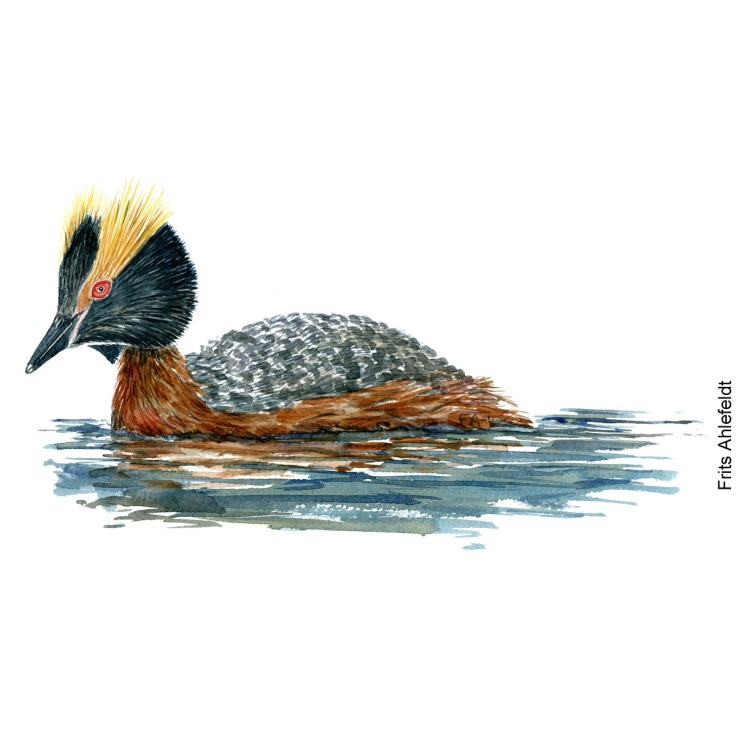 Horned grebe Bird watercolor illustration handmade by Frits Ahlefeldt